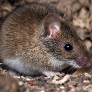 Controlling rodents